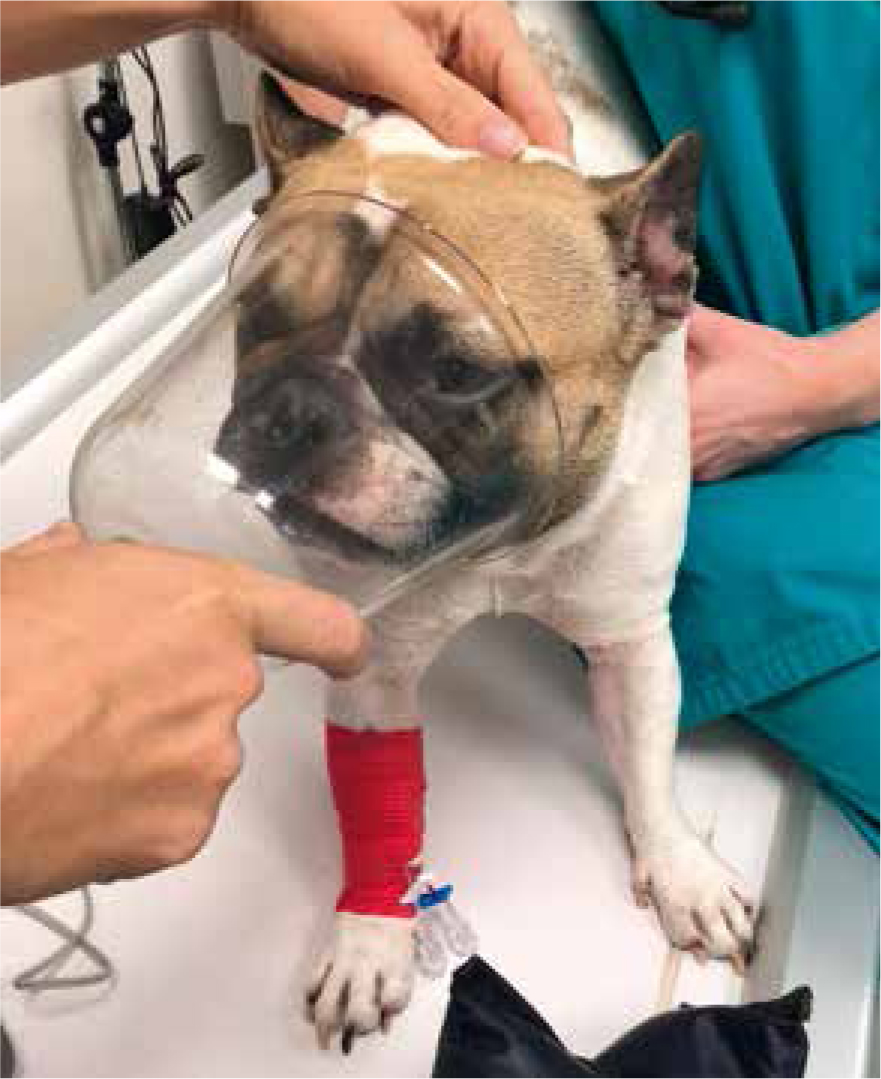 Perioperative Care Of The Brachycephalic Patient And Surgical Management Of Brachycephalic Obstructive Airway Syndrome The Veterinary Nurse